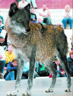 Rami, a 10-year-old wolf from the wolf sanctuary Mission: Wolf, takes part in the town of Dillon's Nature Night Series last summer. (Mark Fox/The Aspen Times)
