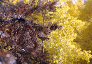 The bough of a pine tree destroyed by pine beetles is shown amid the fall colors of trees near Keystone, Colo., on Wednesday, Oct. 1, 2008. There are about 80 mills in North America that produce at least 1 million tons of wood pellets per year. Pellets are made of recycled wood waste such as sawdust or beetle-killed trees. (AP Photo/David Zalubowski)
