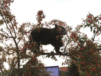 Andre Salvail/The Aspen TimesA bear feeds in mid-September while perched on a fruit-tree branch on Main Street.