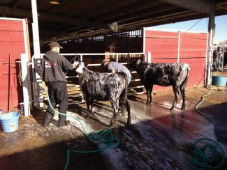 Contributed photoMembers of the team from Emma Farms Cattle Co. wash two of their Wagu cattle in preparation for showing at the National Western Stock Show in Denver. The Basalt-area cattle operation is showing 15 of its special breed of cattle in competition Wednesday.
