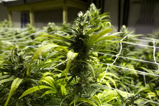 Colorado releases new report on potential health effects of marijuana