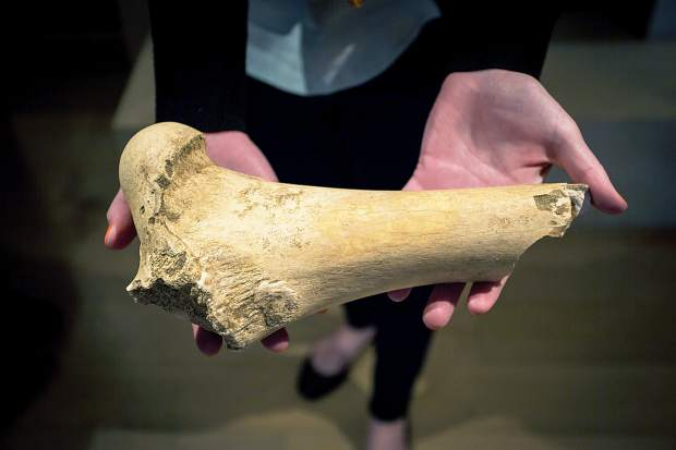 The Denver Museum of Nature & Science has donated ice-age fossils, such as this bison femur, that guests are allowed to observe and touch at the Ice Age Discovery Center on the Snowmass Village Mall.