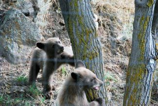 Basalt resident Bernie Grauer recently spotted two cubs and a larger bear outside of his backyard. Bear problems in Basalt have prompted the town government to host three community meetings this month to raise awareness about provisions of its Wildlife Protection Guidelines.