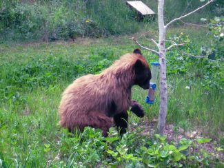A black bear forages for seeds from a birdfeeder in the backyard of an Aspen residence in 2011. The White River National Forest is proposing a new rule for mandatory storage of food, garbage and other attractants at area campgrounds.