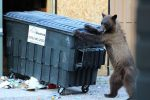 A bear gets into a dumpster last summer in downtown Aspen.