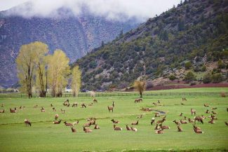 A herd of elk grazes in a pasture in Aspen Valley Downs on Sunday before the snow arrives. Aspen received a fresh blanket of snow overnight into Monday, but the National Weather Service is forecasting sunny days for the rest of the week.