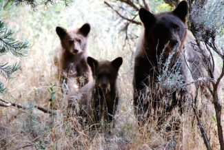 "Basalt resident Bernie Grauer shot this photo of a bear and two cubs, which were outside of his yard on Wednesday afternoon. ""My two"