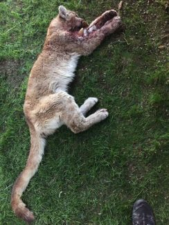 The carcass of the mountain lion that was shot after attacking a child in the front yard of his home below Woody Creek on Friday night. Note the sheriff's deputy's boot at the bottom of the picture, which provides an idea of the lion's smaller size.