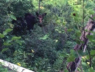 A cow moose peeks through the leaves near the Tom Blake Trail in Snowmass Village earlier this summer. A driver hit a young female moose on Tuesday morning on Owl Creek Road just below the parking lot for the trailhead.