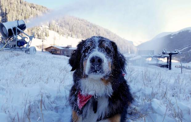 Toby the avalanche dog coated in frost near the base of Loveland Ski Area after snowmakers started blowing snow again on Nov. 2. The ski area was forced to halt snowmaking operations for most of October due to above-average temperatures during the day and night.