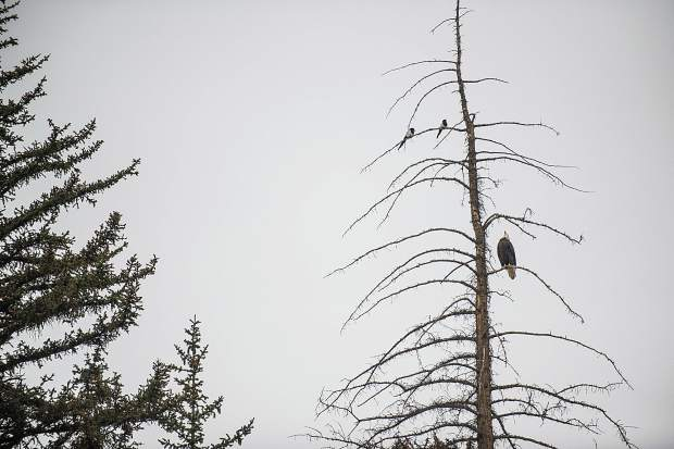 A bald eagle sits on its perch above Hallam Lake on Tuesday morning during the birding tour at the Aspen Center for Environmental Studies nature center.