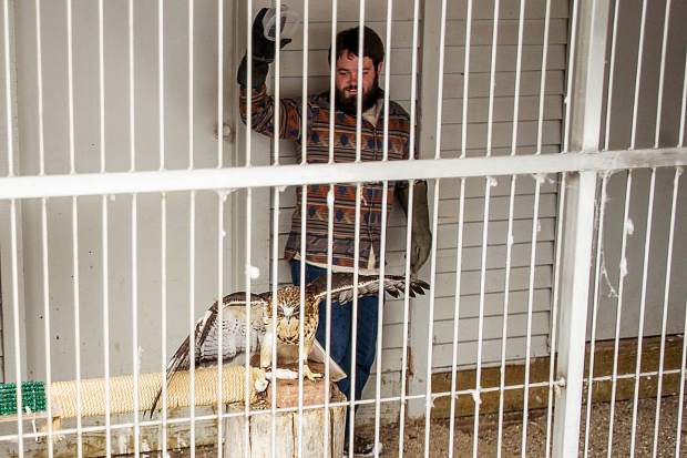 Matt Thomas, an educator at ACES in Aspen, feeds the red-tailed hawk mice on Tuesday November 29th, afternoon. This hawk was brought to ACES from Tennessee in 2012 and is permanently disabled and unable to fly. To ensure the birds stay warm enough since they are unable to exercise properly ACES keeps them on the