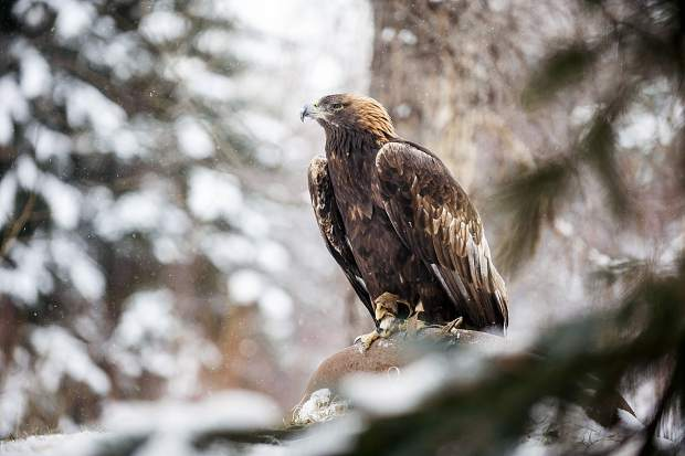 The Golden Eagle sits outside at ACES in Aspen on Tuesday, November 29th. This eagle is 34-years-old but has been at ACES for 32 years of her life; longer than any current ACES' employee.