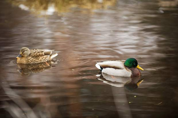 Male and female mallard ducks swim around Hallam Lake on Tuesday morning during the birding tour at the Aspen Center for Environmental Studies nature center.