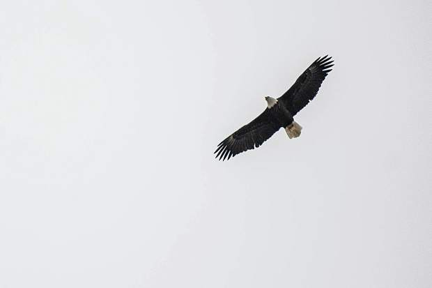 A bald eagle soars above Hallam Lake on Tuesday morning during the birding tour at the Aspen Center for Environmental Studies nature center.