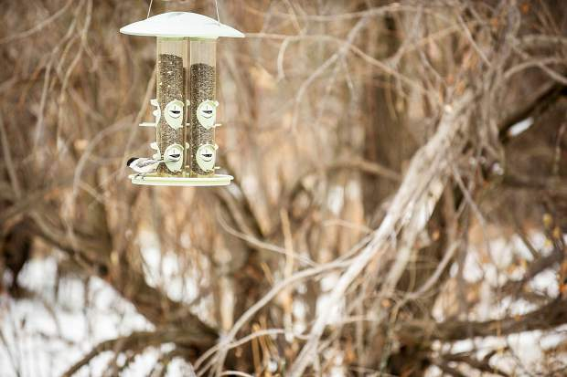 A black-capped chickadee enjoys the seeds in the bird feeders Tuesday morning at the Aspen Center for Environmental Studies nature center during the birding tour.