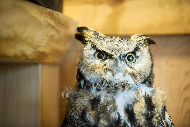A stuffed great horned owl sits inside the Aspen Center for Environmental Studies nature center. The owl was donated by Jesse Deane in 2014 from T-Lazy-7 Ranch.