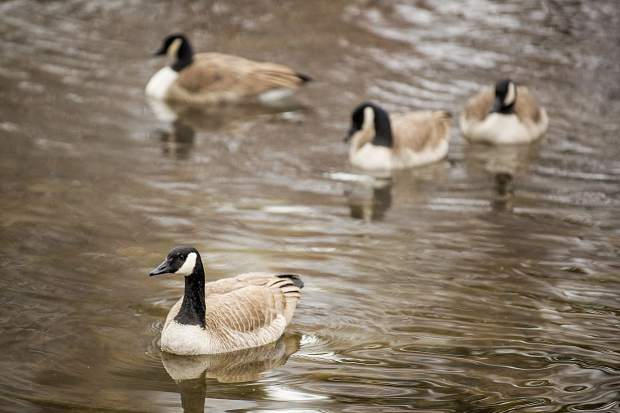 Canada geese swim around Hallam Lake on Tuesday morning during the birding tour at the Aspen Center for Environmental Studies nature center.