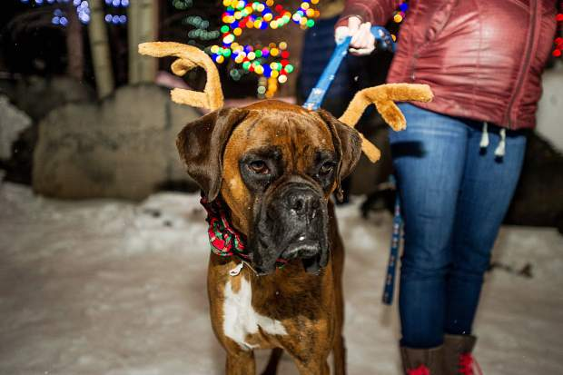 Mumford the boxer sports his reindeer antlers at the Light Up the Night celebration at the Snowmass Chapel on Saturday night.