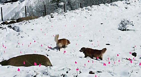 Dogs run through the snow on Smuggler Mountain Wednesday where pink flags mark dozens of piles of dog poop left there by dog owners.