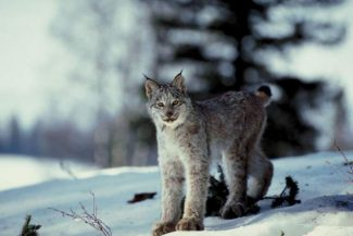 Lynx, reintroduced to the state in 1999, are known to frequent lodgepole-pine forested section south of Breckenridge near Copper Mountain and Vail Pass.