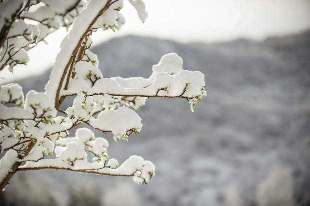 Snow-covered branches in Snowmass this morning.