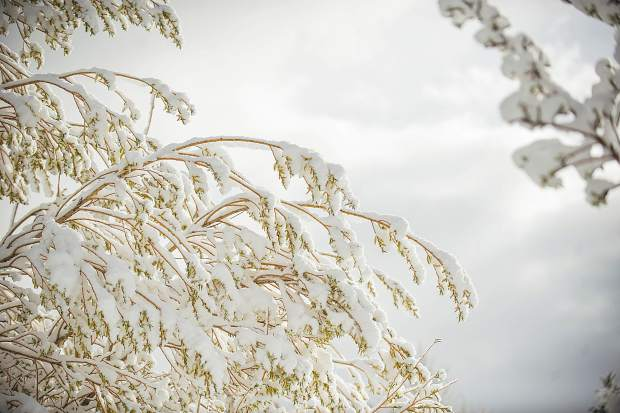 Tree branches were covered this morning in Snowmass from the snowfall on Monday evening.