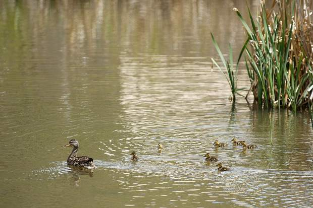 A duck and her ducklings swim through a pond in Snowmass Village on May 26.