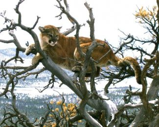 Wildlife officials defend mountain lion management practices