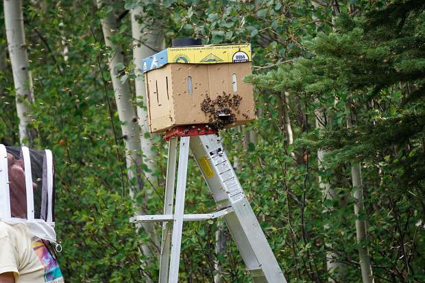 A beekeeper corrals a swarm of bees at a home in Castle Creek for transport to a new hive