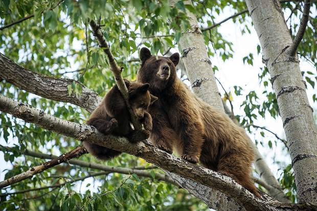 A bear cub and it's mother up in a tree on Hyman pedestrian mall on Wednesday morning.
