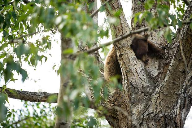 A bear cub sleeps up in a tree on Hyman pedestrian mall on Wednesday morning.