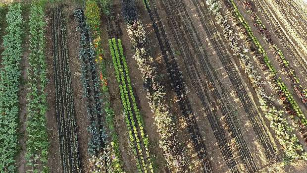 An overhead shop highlights baby greens growing on a Roaring Fork Valley farm.