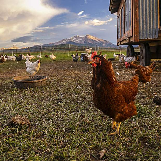 A chicken hunts for food on a farm in Missouri Heights in the shadow of Mount Sopris.