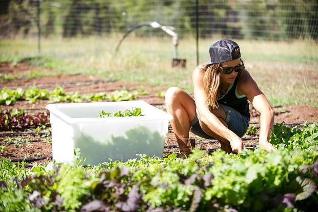 Erin Cuseo cuts greens on land she works at at the Lazy Glen Open Space to deliver to Meat and Cheese Restaurant in Aspen.
