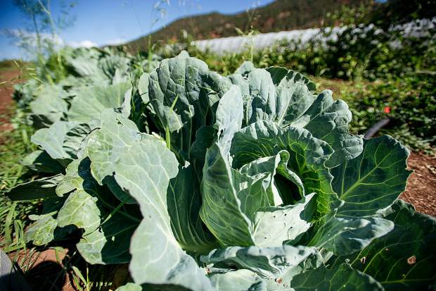 Cabbage gets close to harvest time at Erin's Acres Farm.