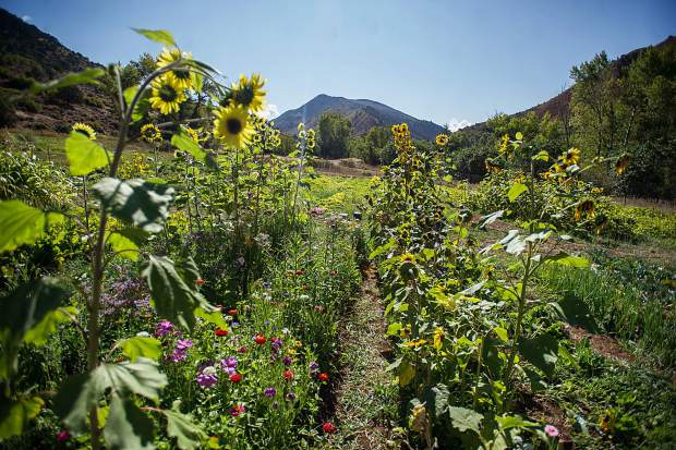 Flowers are being grown by Erin Cuseo at the Lazy Glen Open Space to hopefully bring in a bee population to pollenate the vegetables.