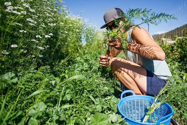 Erin Cuseo pulls carrots on the land she farms on Lazy Glen Open Space. Cuseo is part of the surge of young farmers taking root in the Roaring Fork Valley.