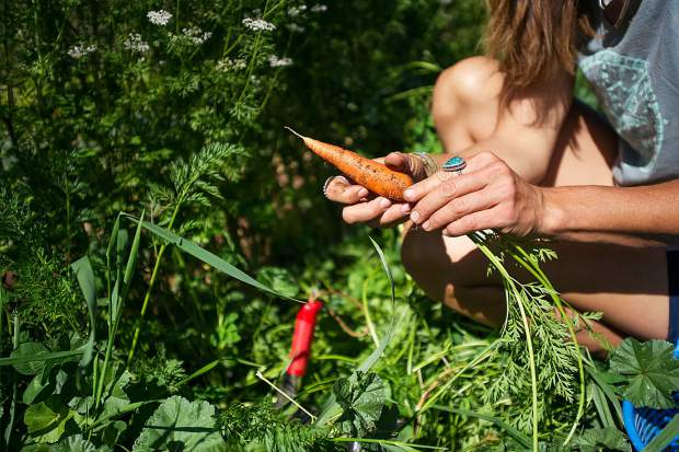 Erin Cuseo of Erin's Acres Farm pulls carrots during fall harvest on the land she leases at Lazy Glen Open Space.