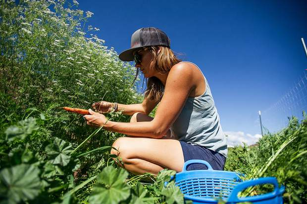Erin Cuseo pulls carrots on the 1-acre farm she established this year on the Lazy Glen Open Space.