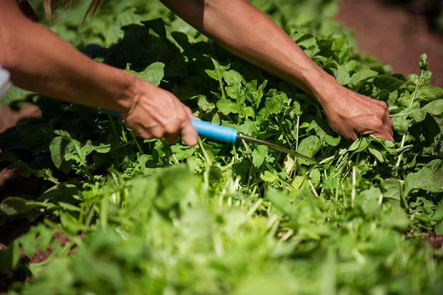 Erin Cuseo harvests greens on her farm.