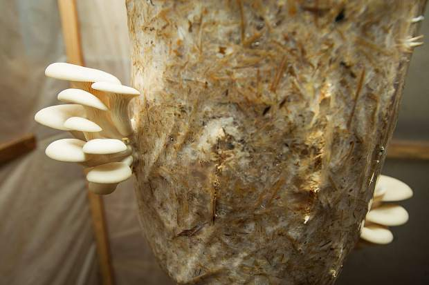 Copper Means of Shining Mountains Farm has found greater demand than he can supply for the mushrooms he grows.