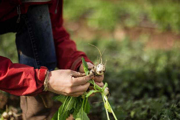 Two Roots Farm co-owner Harper Kauffman harvests parsnips last fall.