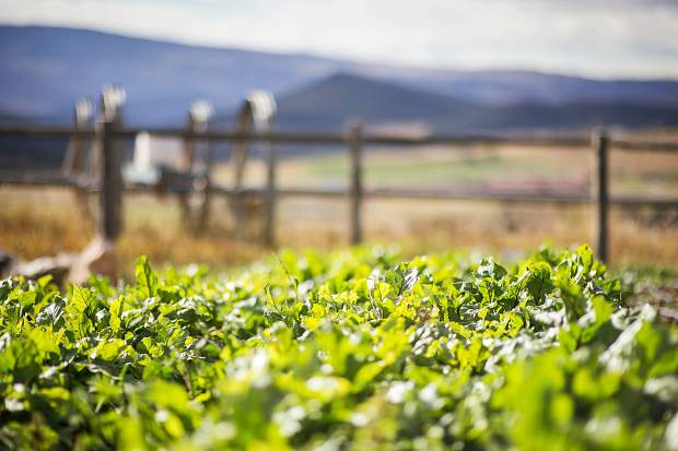 Greens grow on the Two Roots Farm property in Missouri Heights last fall.