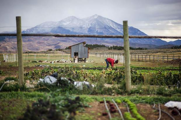 Harper Kaufman, co-owner of Two Roots Farm, works last fall on a beautiful piece of ground in Missouri Heights. Mount Sopris looms in the background.