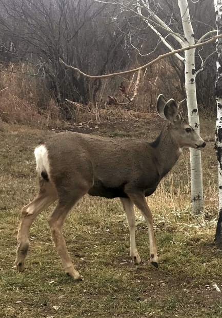 Brodie Buchanan, a 16-year-old sophomore at Aspen High School, caught this a photo of a deer meandering near his family's home in Brush Creek Village on the morning of Nov. 13.