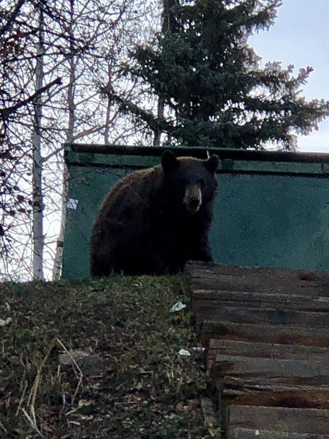 Illegal bear killing spurs hunting ban aspentimes the second larger and darker colored bear that has been regularly making the rounds looking for food in the aspen business center area neighborhoods publicscrutiny Choice Image