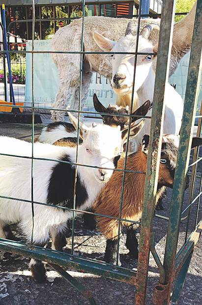 Baby goats greet passersby at Aspen Tree's popular spot at the Aspen Saturday Market.