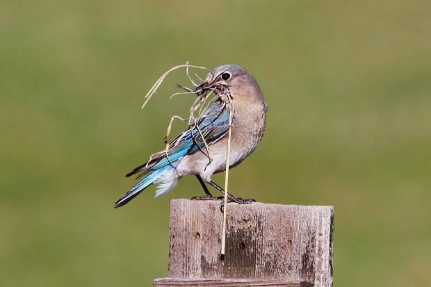 A mountain bluebird collects supplies for homebulding.