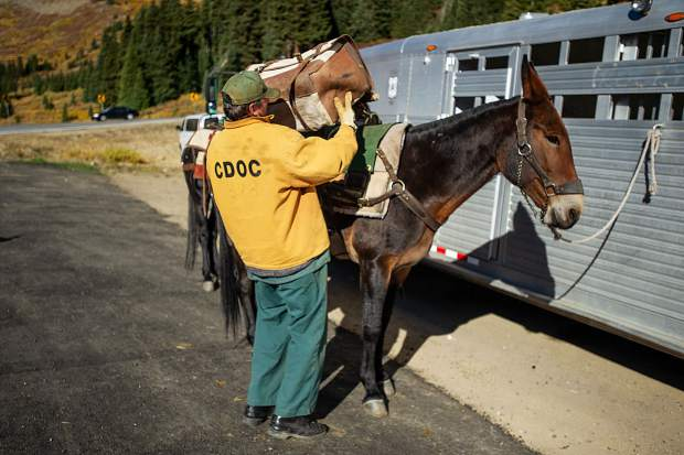 A Buena Vista Correctional Facility inmate preps Patti the mule for the U.S. Forest Service before heading up to Mountain Boy Basin on Independence Pass on Sept. 19 to remove rebar from a snowfence installed in the early 1960s for an Independence Pass Foundation project.